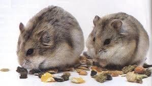 Resultado de imagen de hamster chino