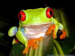 """Résultat de recherche d'images pour """"rainettes grenouilles"""""""