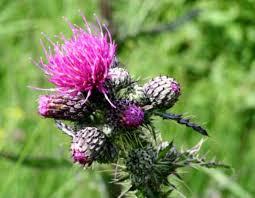 Cirsium palustre - Wikipedia