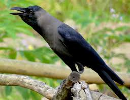 Image result for house crow