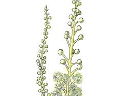 In Bloom: <b>Black Cohosh</b> - The Laurel of Asheville