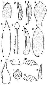 Sempervivum italicum from Form von Sempervivum tectorum var ...