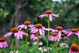 <b>Pink</b> Echinacea flowers on <b>green nature</b> background close up ...