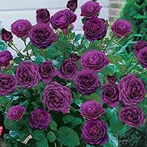patio tree roses ebb tidea quot patio tree rose