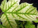 Images & Illustrations of chlorosis
