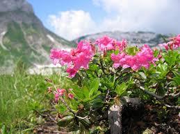 Rhododendron hirsutum - Wikipedia