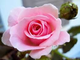 Resultado de imagen para rose bud