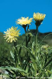 Hieracium intybaceum All.