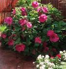 Images & Illustrations of bush hibiscus