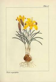 4462 Strobilanthes flaccidifolia Nees / Curtis's Botanical Magazine ...