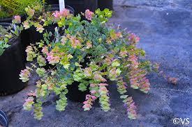 Origanum 'Barbara Tingey' | California Flora Nursery