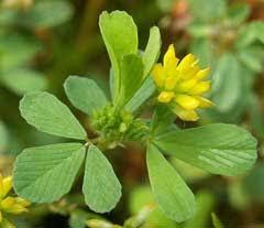 Trifolium dubium Suckling Clover PFAF Plant Database