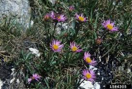 alpine fleabane Erigeron alpinus L.