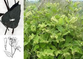 Symphytum orientale L. - Portale sulla flora della Città di Udine
