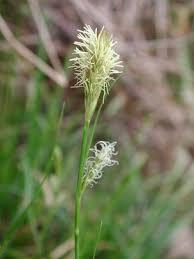 Carex depressa Link subsp. basilaris (Jord.) Kerguélen