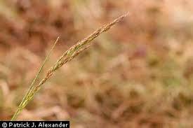 Plants Profile for Schedonorus arundinaceus (tall fescue)
