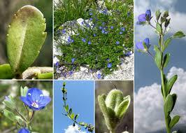 Veronica fruticans Jacq. - Sistema informativo sulla flora delle Alpi ...