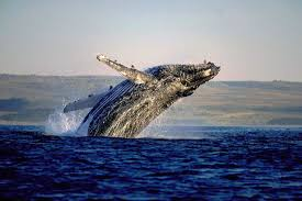 Image result for hermanus whales images