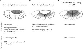 interactions between the amnioserosa and the epidermis revealed by figure