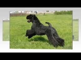 Собаки породы <b>Керри блю терьер</b>! - YouTube