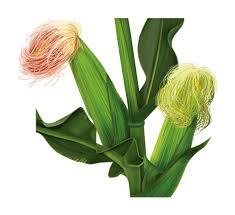 <b>Кукурузные</b> рыльца: свойства, описание применение в народной ...