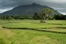in the hot zone ckdnt in sri lanka ed kashi a mountain overlooks scenic rice fields near aluth oya dimbulagala district near polonnaruwa