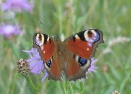 Znalezione obrazy dla zapytania roje motyli siadały na koniczynie