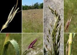 Chrysopogon gryllus (L.) Trin. - Sistema informativo sulla flora ...