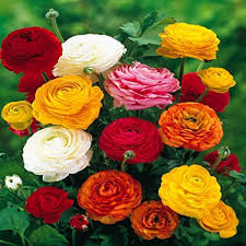 Amazon.com : Ranunculus Asiaticus, Mixed Colors (20 Bulbs ...