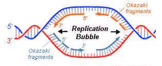 Dna replication research papers The Basic Model of DNA Replication  Watson and Crick proposed the