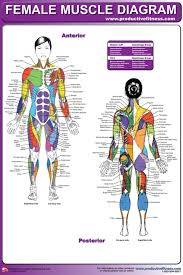 anatomy chart muscle diagram femalefemale muscle diagram chart