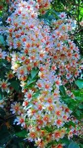 Carex parviflora | Tatra Mountain flora | Flowers, Garden, Plants