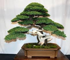 50 juniper bonsai tree potted flowers office bonsai purify the air absorb harmful gases juniper seeds bonsai tree office