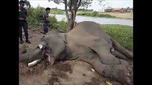 elephant ivory trade visual essay   youtubeelephant ivory trade visual essay