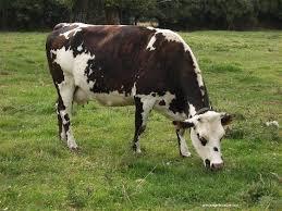 """Résultat de recherche d'images pour """"vaches normandes"""""""