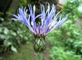 Cyanus montanus - Wikipedia