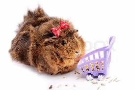 Výsledek obrázku pro guinea pig shopping