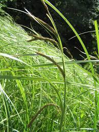 Carex acuta - Wikipedia