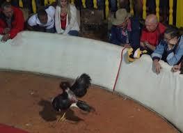 Peleas de gallos ocurren bajo el auspicio oficial CubanetCubanet