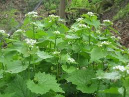 Garlic mustard identification and control: Alliaria petiolata - King ...