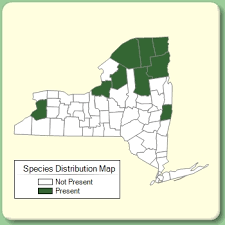 Euphrasia stricta - Species Page - NYFA: New York Flora Atlas
