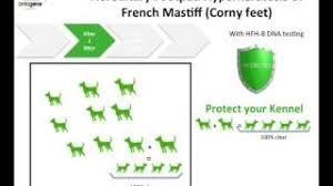 Hereditary Footpad Hyperkeratosis of <b>French Mastiff</b> | Antagene