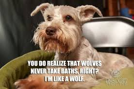 SOOOO CUTE on Pinterest | Schnauzers, Meme and Dog Memes via Relatably.com