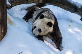 Giant <b>Pandas Love</b> Snow - Scientific American Blog Network