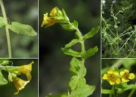 Tozzia alpina L. subsp. alpina - Portale alla flora del Parco ...