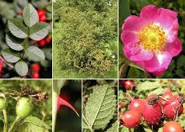 Rosa rubiginosa L. - Flora urbana della città di Trieste
