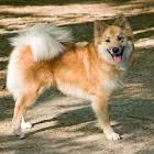 Images & Illustrations of Icelandic Sheepdog