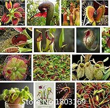 Amazon.com: . <b>2015 New 200pcs</b>/<b>lot</b> Bonsai Scarlet Sarracenia ...