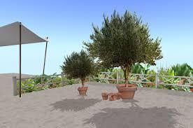 patio olive tree