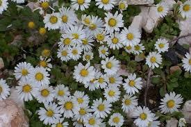 Annual Daisy (Bellis annua) · iNaturalist.org